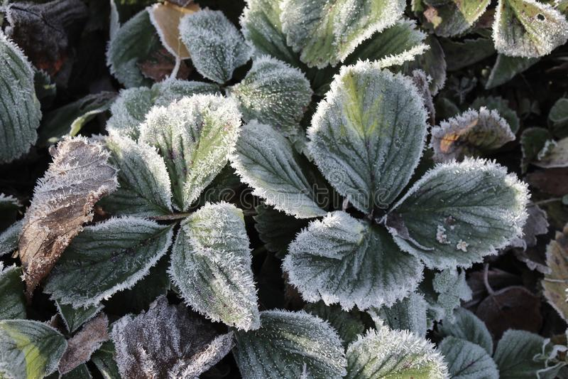 Frosted foliage, strawberry plant, cold winter. Frosted foliage of the strawberry plant, on a cold winters morning. Frosty winter nature background stock image