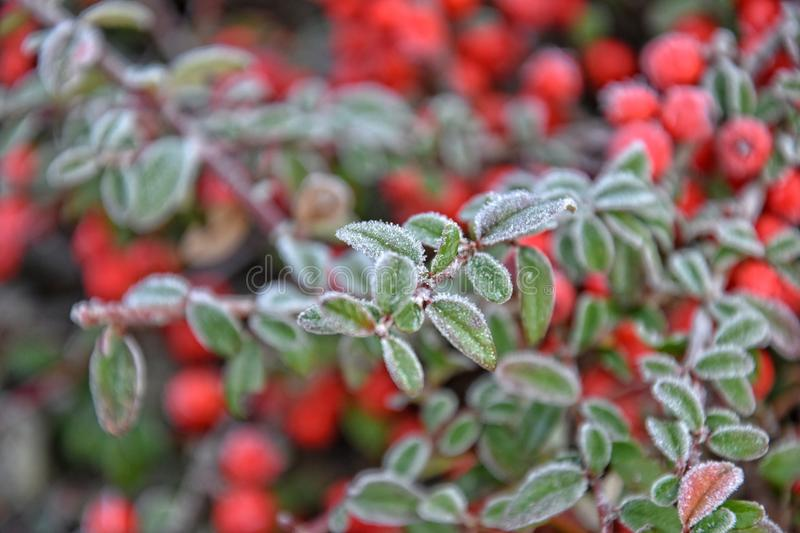 Frosted green small leaves. Of a bush with red berries royalty free stock photo
