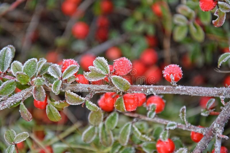Frosted green small leaves. Of a bush with red berries royalty free stock image