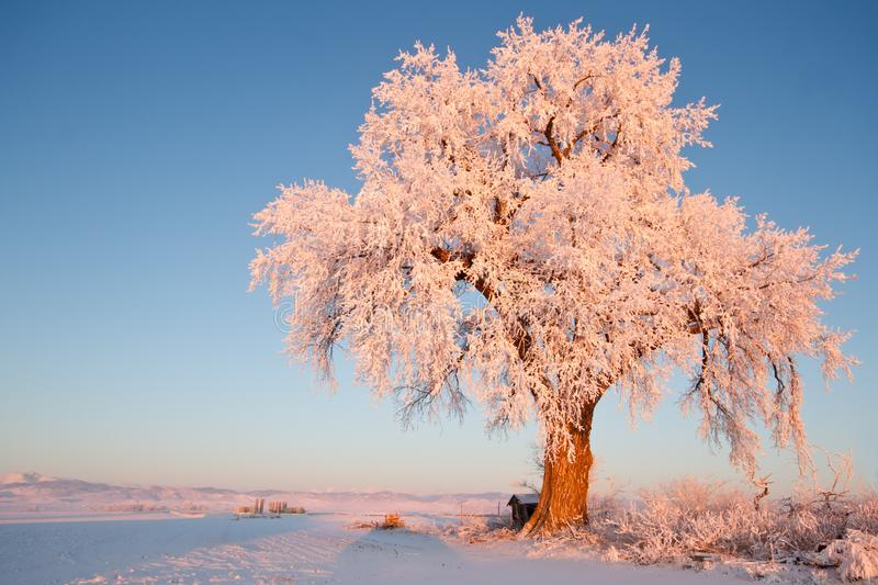 Frosted Ice Lone Winter Tree at Glowing at Sunrise stock photos