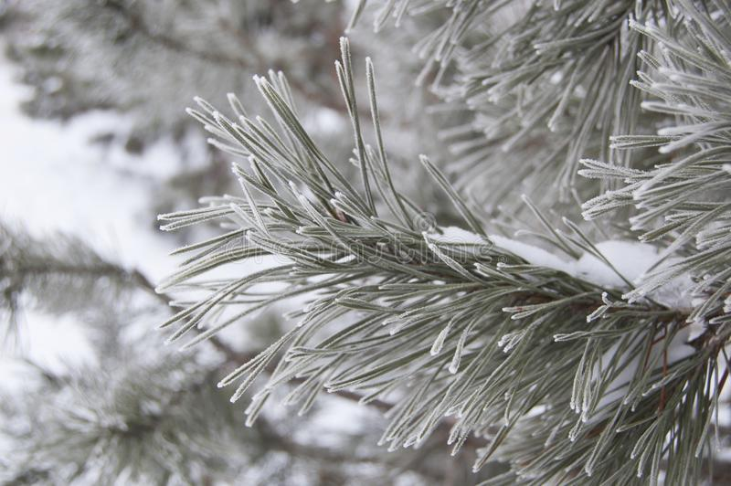 Frosted needles of pine covered with frost. Winter background royalty free stock photo