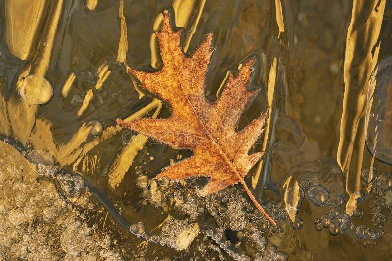 Download Frosted Oak Leaf stock image. Image of nature, frozen - 10987763