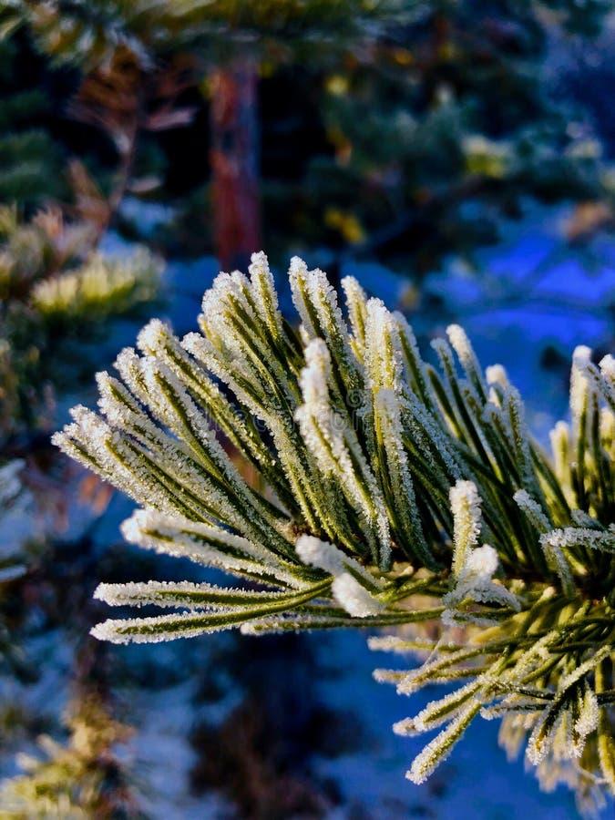 Frosted Pasztetowy drzewo fotografia royalty free
