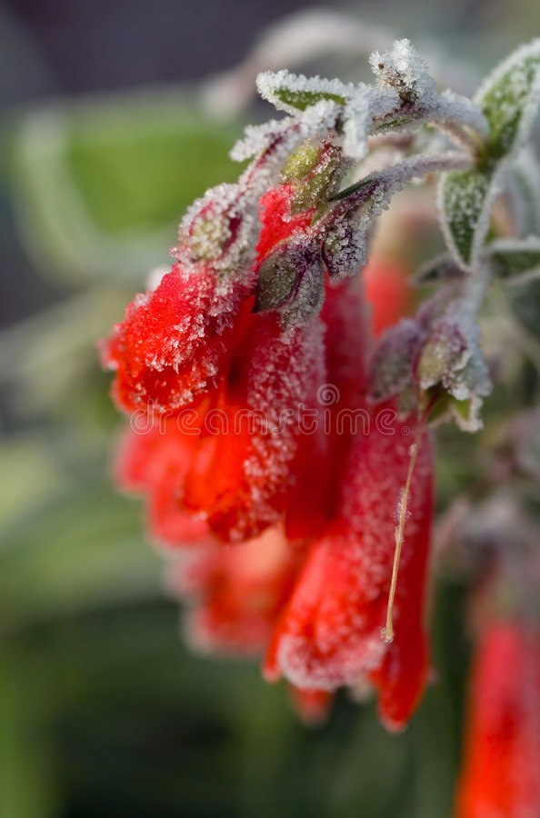 Frosted penstemon flowers royalty free stock photos