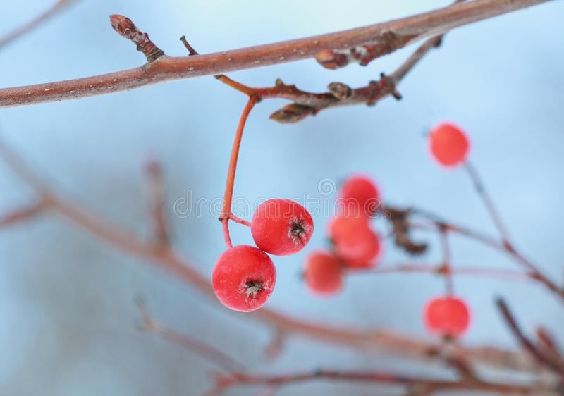 Frosted red berries of mountain ash close-up stock photo