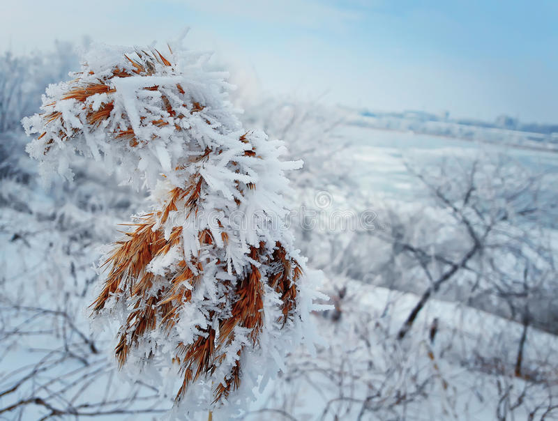 Frosted reed stock images