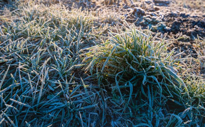 Frosted sod of grass blades. Blades of grass covered with hoarfrost in low early morning sunlight royalty free stock photo