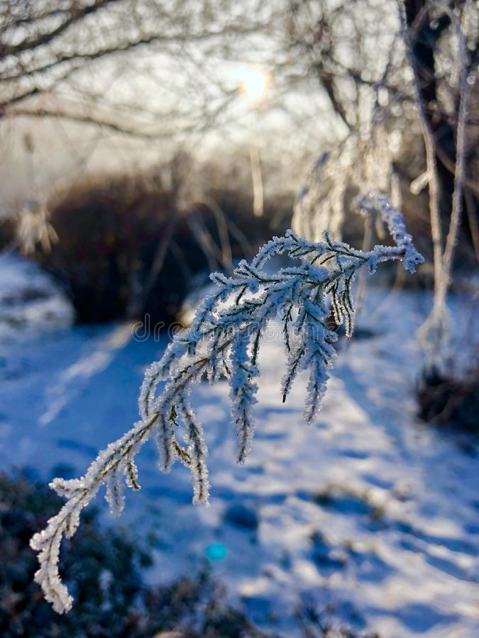 Frosted sosna fotografia royalty free