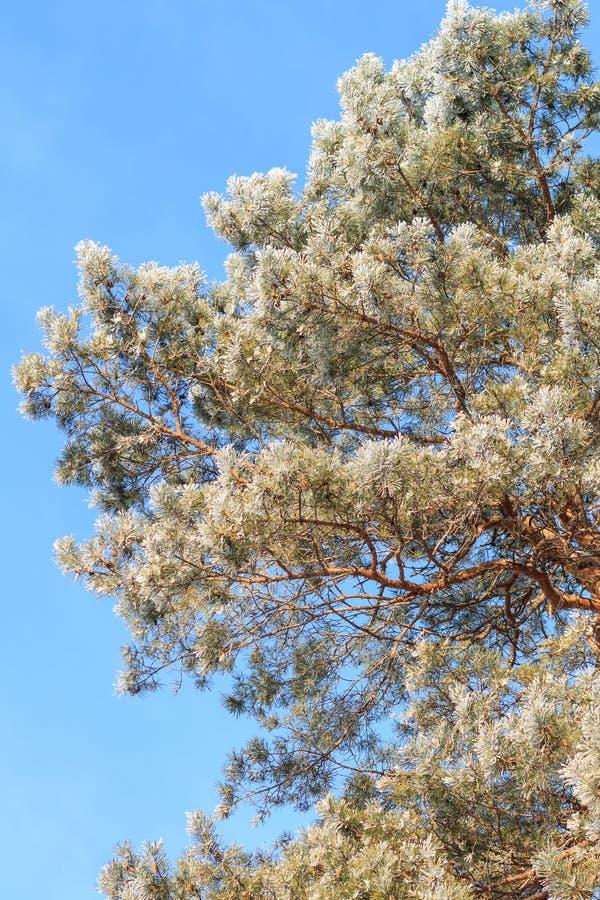 Frosted sosna przy zima rankiem nad niebieskim niebem obraz stock
