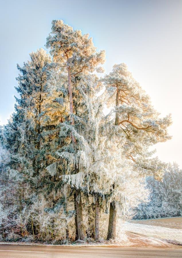 Frosted sosna w zima krajobrazie fotografia royalty free