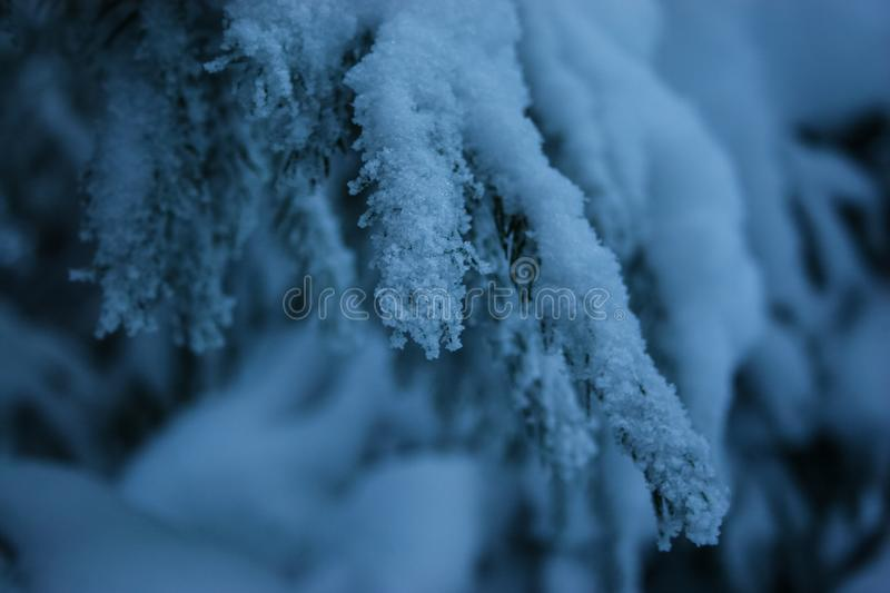 Spruce Christmas Tree Branch Under the Snow Macro. Frosted spruce tree branches under deep snow in Carpathian mountains in evening macro royalty free stock photos