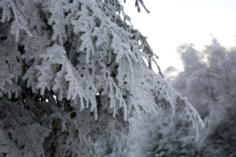 Frosted tree spruce in mountain. Winter in a forest. Magic tree royalty free stock photo