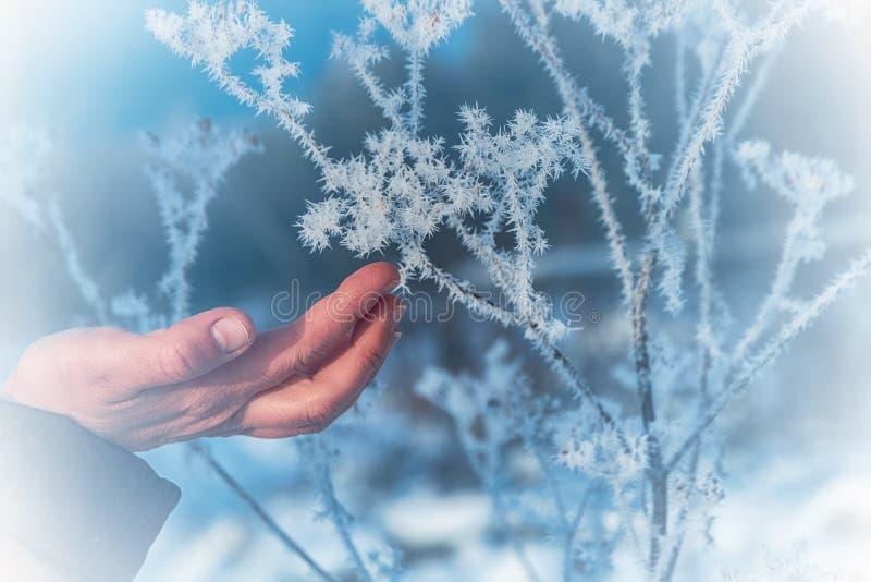 Frosten på filialerna Kvinnans hand trycker på försiktigt de skarpa visarna av frost på filialnärbilden arkivbilder