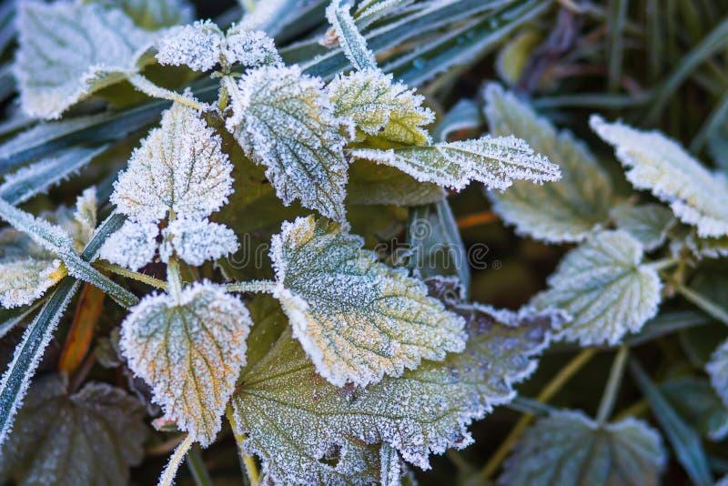 Frostig natur för höst Rimfrost på sidor av växter november v?der Autumn Frost royaltyfri foto