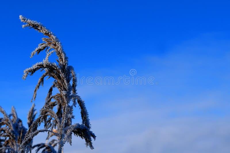 Frostig och iskall vass royaltyfria bilder