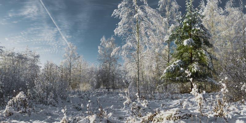 frostig solig dag i vinterskogen/de snöig granträden i vinter fotografering för bildbyråer