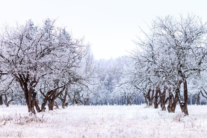 Frostig trädgård för äppleträd i vintermorgon arkivbilder