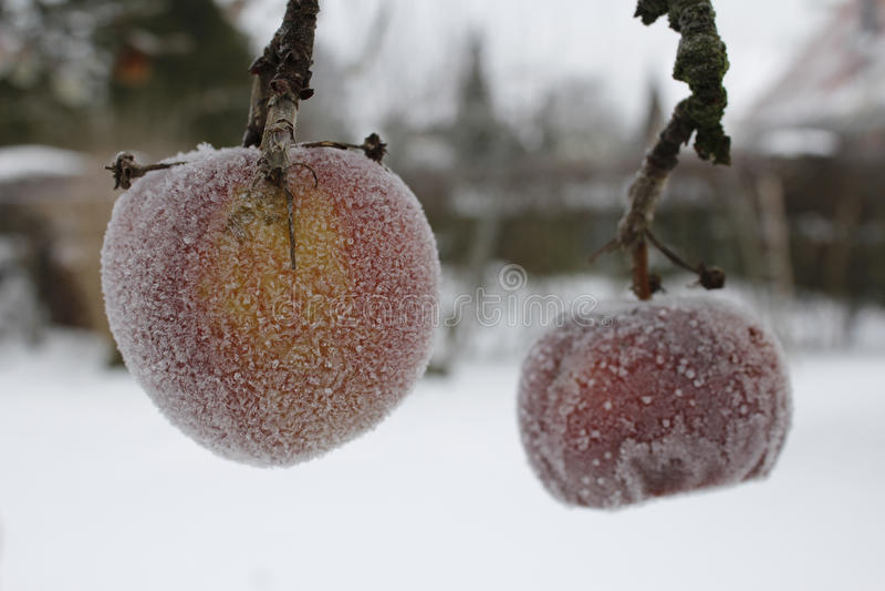 Frostiga äpplen i wintergardenen arkivfoto