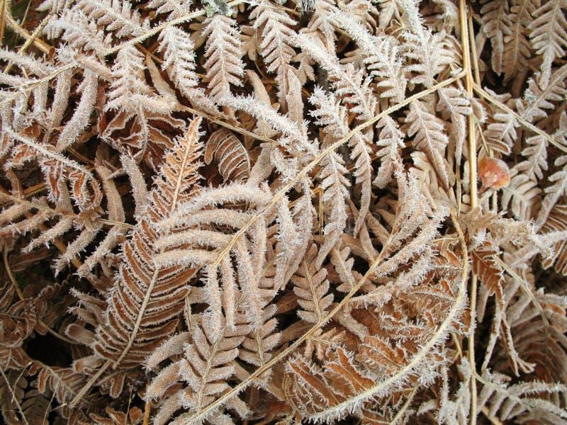 Frostiga ferns royaltyfri bild