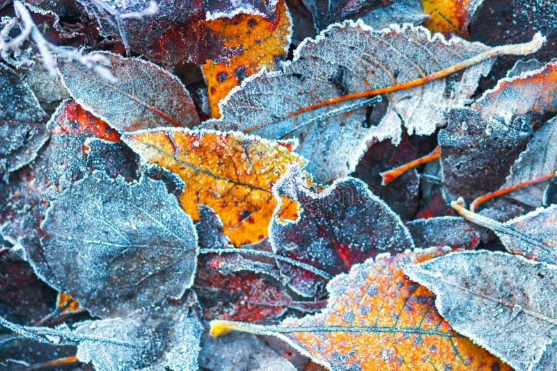 Frostiga höstsidor i november royaltyfri foto