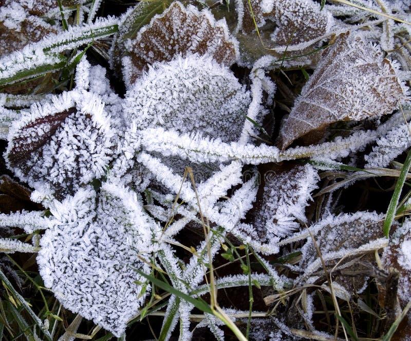 frostiga leaves arkivbilder