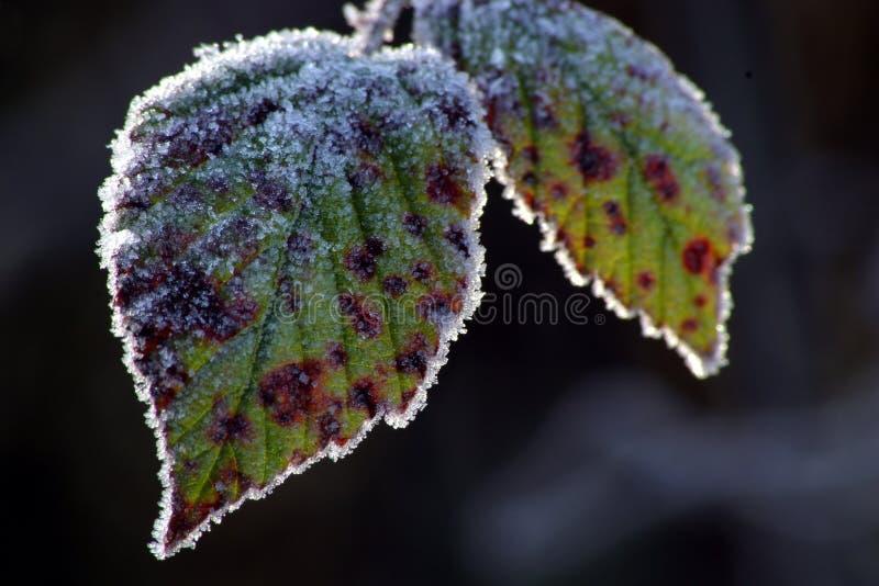 Download Frostiga leaves fotografering för bildbyråer. Bild av kristall - 47841
