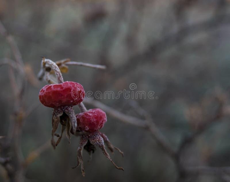 Frostiga rosa höfter arkivfoto
