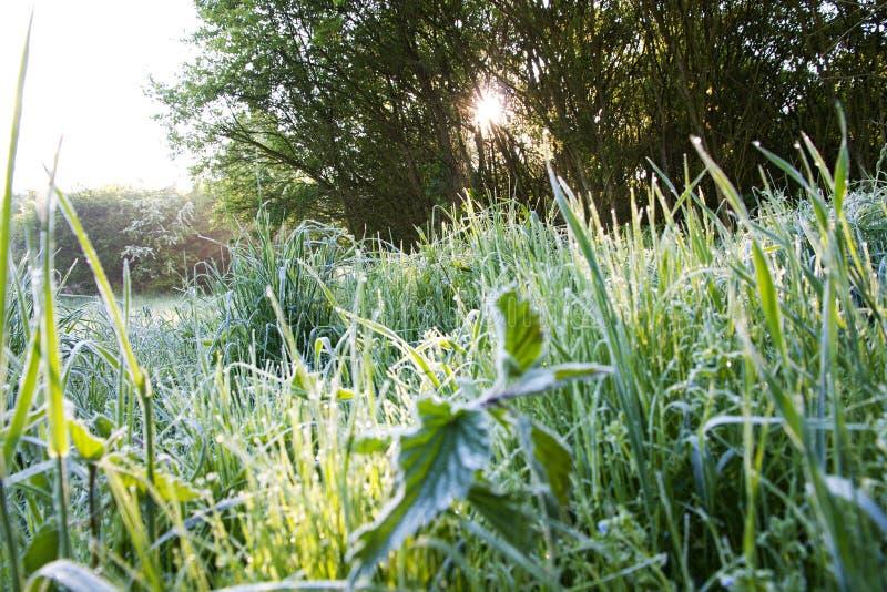 Frostigt gräs royaltyfri foto