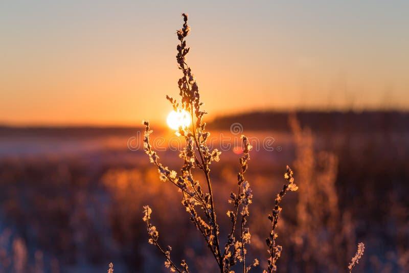 Frostigt gräs på vintersolnedgången royaltyfri fotografi
