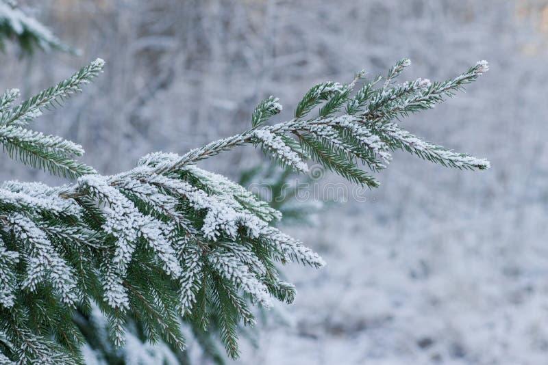 Frostigt granträd royaltyfri fotografi