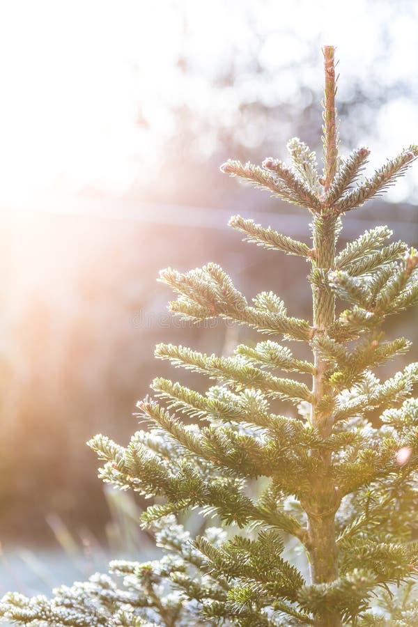 Frostigt julträd utanför arkivfoto