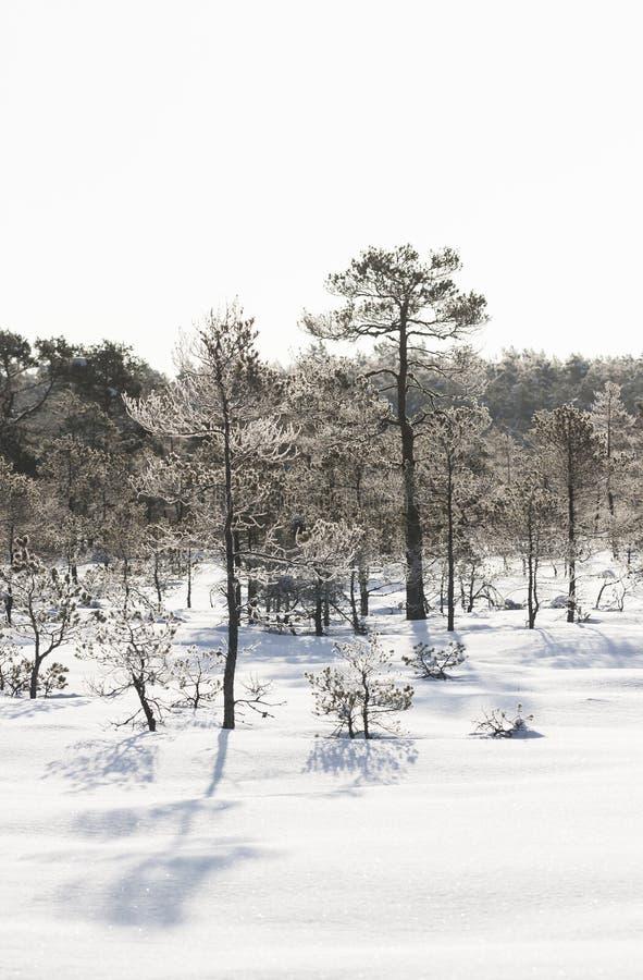 Frostigt sörja träd i träsk tidigt på morgonen royaltyfri fotografi
