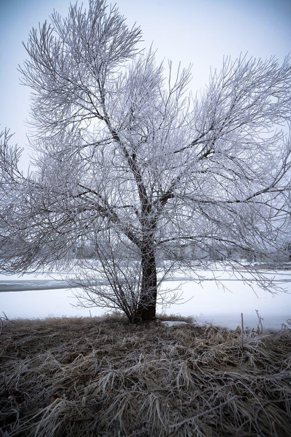 Frostigt träd i vinterlandskap arkivbilder