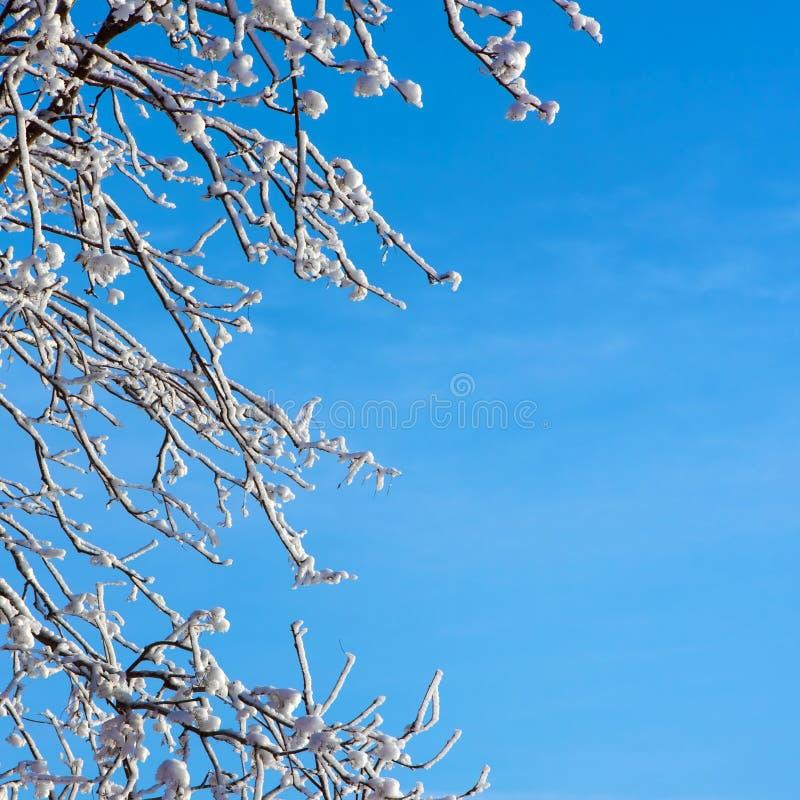 Frostigt träd och blå himmel arkivbilder