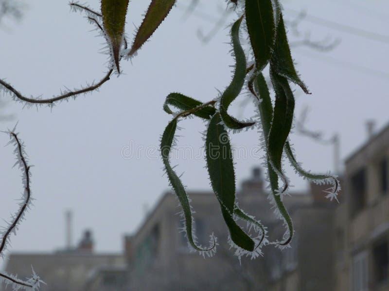 Frostkristalle auf grünen Blättern in der städtischen Landschaft im mittleren Nebel lizenzfreie stockfotografie