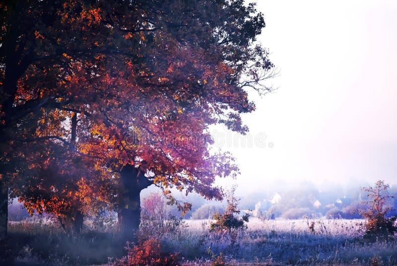 Frostmorgon sent på hösten Ett mäktigt ekträd täckt med hoarfrost och dimma i en clearing Sent höst är början på en vinst arkivbilder