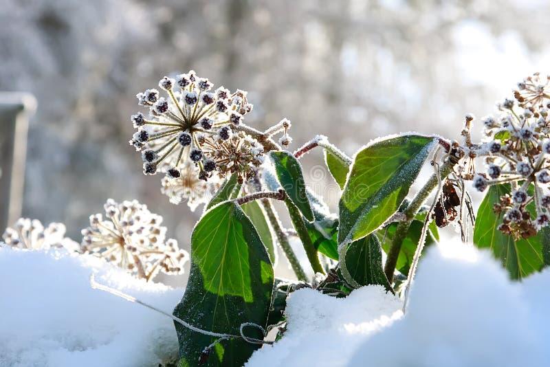 Frostmurgröna arkivbild
