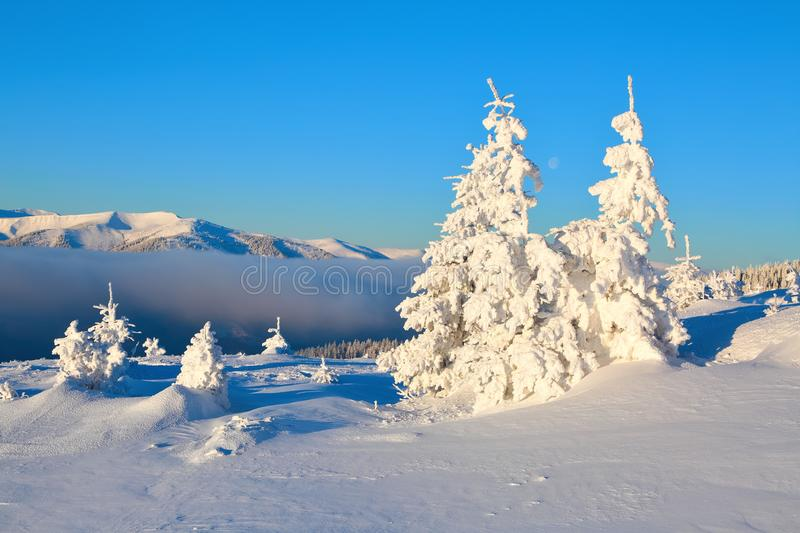 On a frosty beautiful day among high mountains and peaks are magical trees covered with white fluffy snow. stock photography