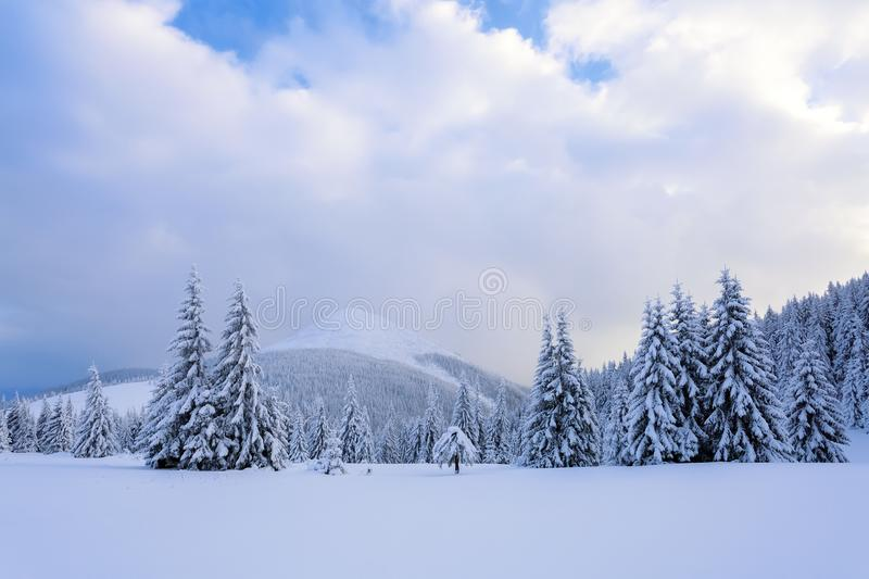 On a frosty beautiful day among high mountains and peaks are magical trees covered with white fluffy snow. royalty free stock image