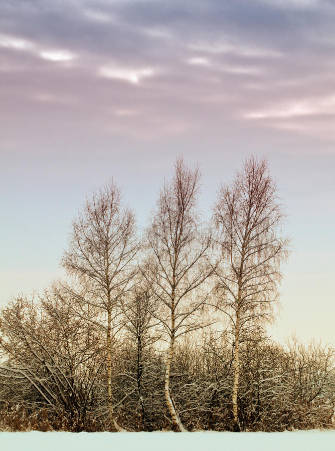 Download Frosty Birch trees stock photo. Image of bare, clouds - 13228528