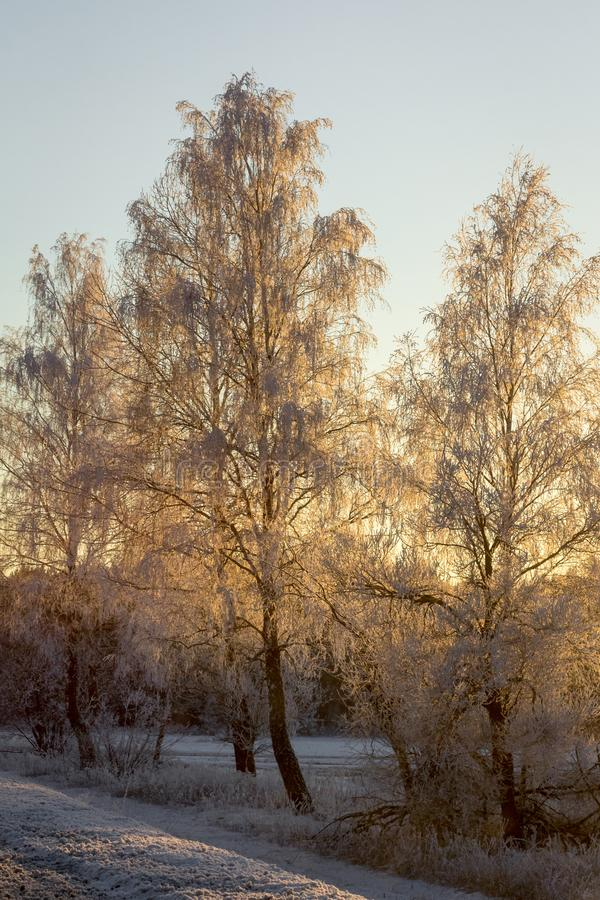 Frosty birch trees in cold winter morning side lit by golden sun royalty free stock photo