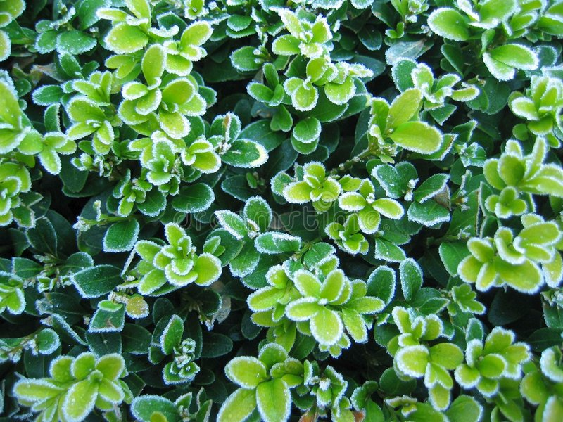frosty boxwood obrazy royalty free