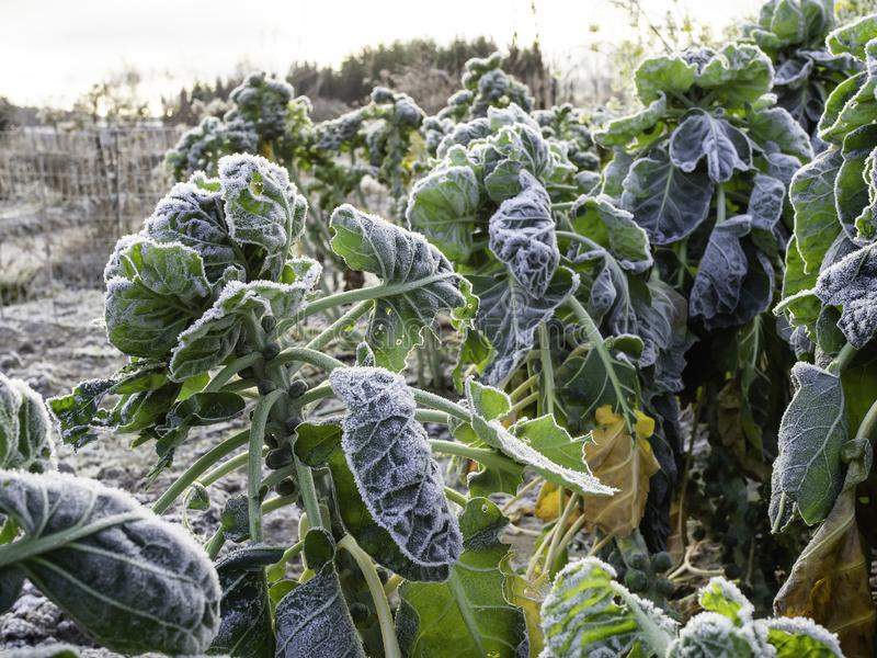 Frosty Brussel sprouts growing in a garden in the winter. Brussels sprouts, Brassica oleracea var. gemmifera, covered by frost, still standing in a November royalty free stock photography