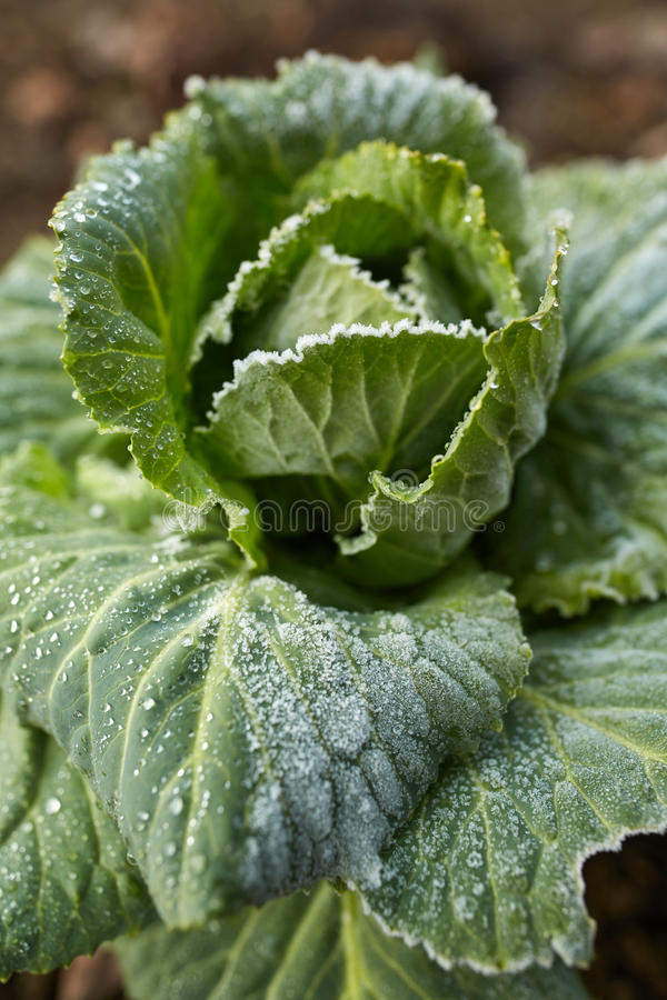 Frosty cabbage on the field. Closeup of a late winter cabbage in the field with frost on leaves stock photos