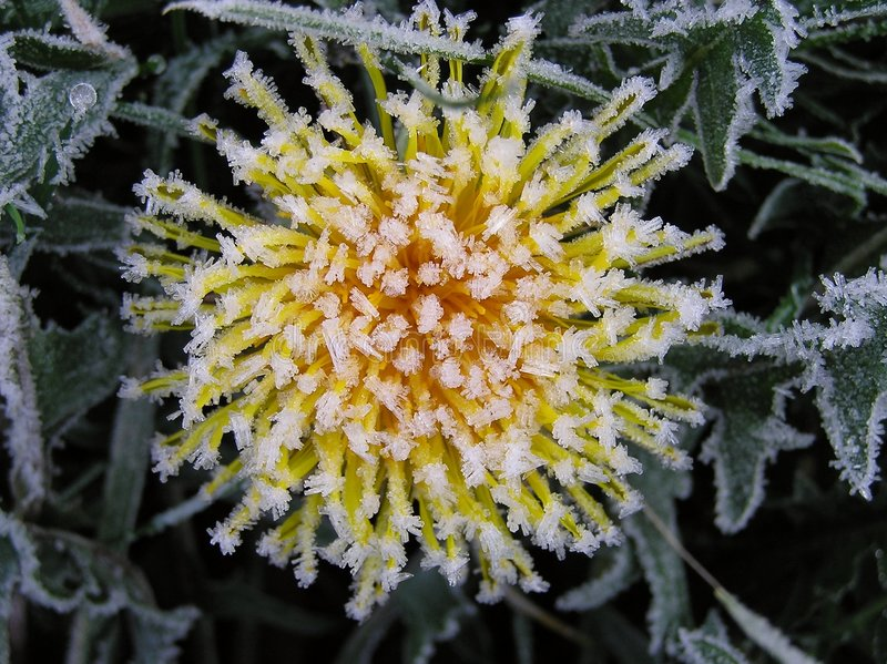 Frosty Dandelion stock images
