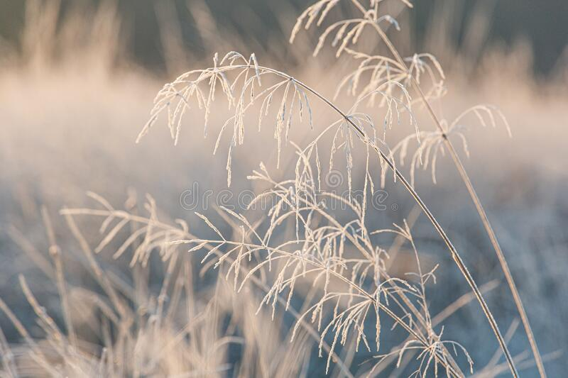 Frosty decorative grass in the winter season. Frost on decorative grass in the winter season stock photography