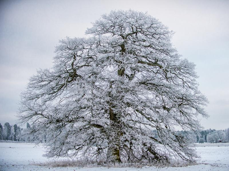 Frosty Grand Old Oak stockfotos