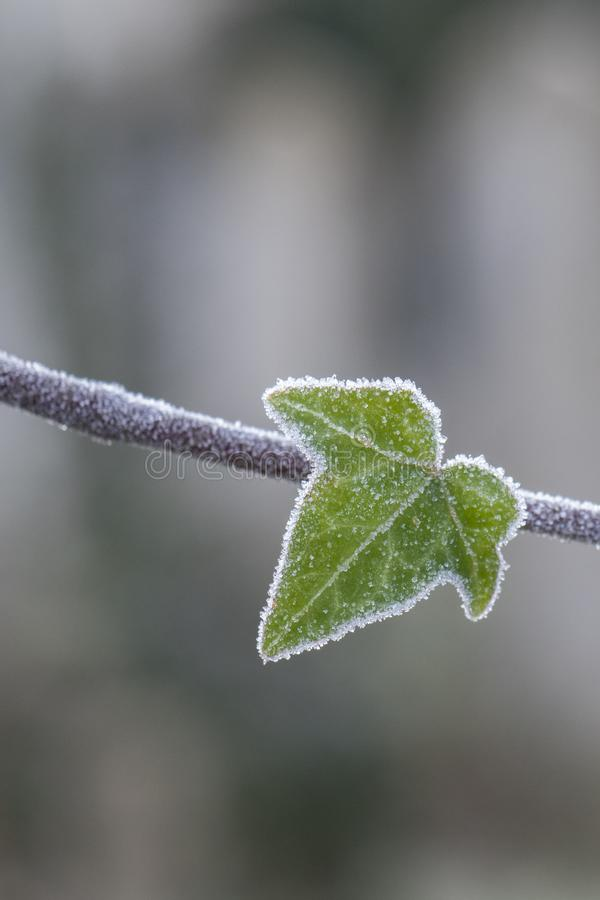 Frosty ivy leaf royalty free stock images
