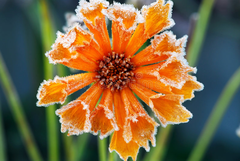 frosty kwiat zdjęcie royalty free