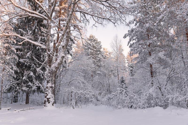 Frosty Landscape In Snowy ForestWinter Forest Landscape Härlig vintermorgon i den A Snö-täckte björken Forest Snow Covered Tr royaltyfria foton